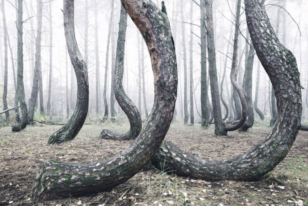 Polonya'da nedeni bilinmeyen bir şekilde eğik ağaçların bulunduğu bir orman fark edildi
